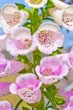 De bloem van de digitalis Stock Foto's