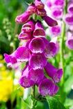 De bloem van de digitalis Stock Afbeelding