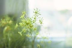 De bloem van de dille Stock Foto's