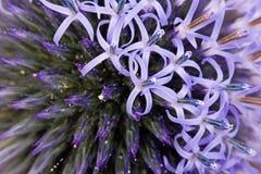 De bloem van de distel Stock Afbeelding