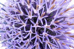 De bloem van de distel Stock Fotografie