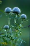 De bloem van de distel in avondlicht royalty-vrije stock afbeeldingen