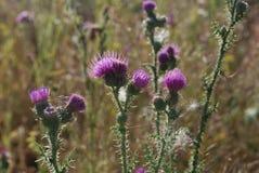 De bloem van de disteldoorn Royalty-vrije Stock Afbeelding