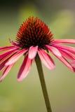 De Bloem van de Echinaceakegel Stock Afbeeldingen