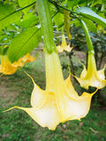 De bloem van de engelentrompet in volledige bloei Royalty-vrije Stock Fotografie