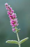 De bloem van de ereprijs Stock Foto's