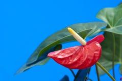 De bloem van de flamingo stock foto's