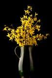 De bloem van de forsythia in bloei Stock Afbeelding