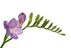 De bloem van de fresia die op wit wordt geïsoleerdr Stock Foto