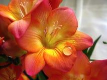 De bloem van de fresia met een waterdaling Royalty-vrije Stock Fotografie