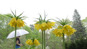 De bloem van de Fritillarylente stock footage