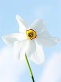 De bloem van de gele narcis Stock Afbeelding