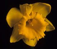 De Bloem van de gele narcis. Stock Foto