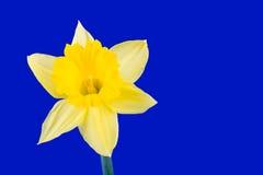 De bloem van de gele narcis stock foto's
