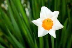 De bloem van de gele narcis. royalty-vrije stock foto