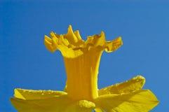 De Bloem van de gele narcis Royalty-vrije Stock Foto