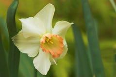 De bloem van de gele narcis in bloei Royalty-vrije Stock Afbeelding