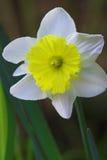 De bloem van de gele narcis in bloei Stock Foto