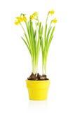 De bloem van de gele narcis in gele pot Royalty-vrije Stock Foto