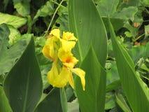 De bloem van de gember Stock Fotografie
