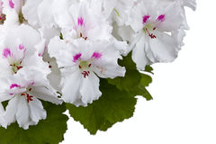 De bloem van de geranium royalty-vrije stock fotografie