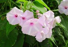 De bloem van de Glorie van de Ochtend van de Struik Stock Fotografie