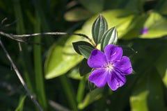 De bloem van de glorieboom, in het hout Stock Afbeelding