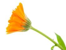 De bloem van de goudsbloem Royalty-vrije Stock Afbeeldingen