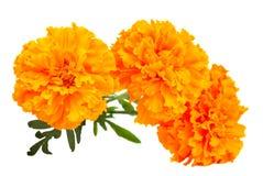 De bloem van de goudsbloem Stock Fotografie
