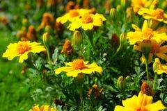 De bloem van de goudsbloem Royalty-vrije Stock Foto