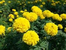 De bloem van de goudsbloem stock afbeeldingen