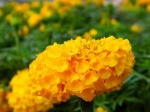 De bloem van de goudsbloem royalty-vrije stock fotografie