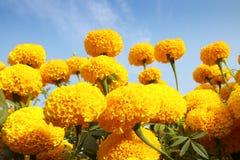De bloem van de goudsbloem Stock Afbeelding