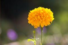 De bloem van de goudsbloem Royalty-vrije Stock Afbeelding