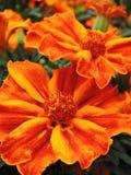 De bloem van de goudsbloem stock foto's