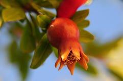 De bloem van de granaatappel Stock Afbeeldingen
