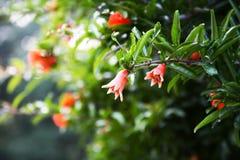 De bloem van de granaatappel Royalty-vrije Stock Fotografie