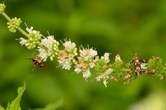 De bloem van de groene munt met insecten Royalty-vrije Stock Foto