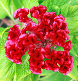 De bloem van de hanekam Royalty-vrije Stock Foto