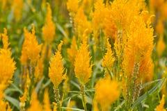 De bloem van de hanekam Stock Afbeeldingen