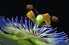 De bloem van de hartstocht Stock Afbeeldingen