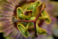 De bloem van de hartstocht Stock Fotografie
