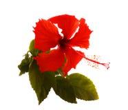 De bloem van de hibiscus Stock Afbeeldingen