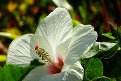 De bloem van de hibiscus royalty-vrije stock afbeeldingen