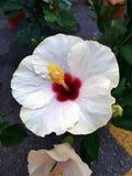 De bloem van de hibiscus Stock Foto