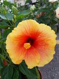 De bloem van de hibiscus Royalty-vrije Stock Foto's