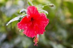 De bloem van de hibiscus Ondiepe DOF stock foto