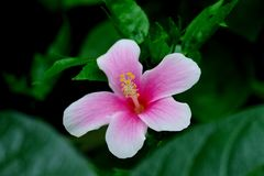 De Bloem van de hibiscus in tuin stock afbeeldingen