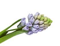 De bloem van de hyacint stock foto's