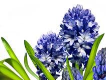 De bloem van de hyacint Royalty-vrije Stock Foto's